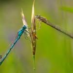 Verliebte Libellen (l. Becher-Azurjungfer -Enallagma cyathigerum)