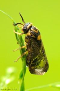 Glasflügler – Sesiidae