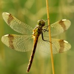 Gebänderte Heidelibelle - Sympetrum pedemontanum - Weibchen