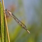 Vermutlich Becherjungfer – Enallagma cyathigerum, weiblich