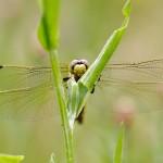 Großer Blaupfeil – Orthetrum cancellatum - Weibchen