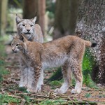 Luchs-Mutti mit Kind