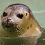 Seehund (Robbe ohne Ohr)