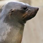 Seelöwe (Robbe mit Ohr)