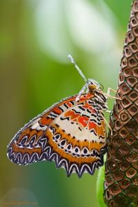 Leoparden-Netzflügler; Cethosia cyane Passifloraeceae (Passionsblumengewächse) Schmetterlinge durch Pflanzengift ungebießbar