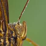ananenfalters - Caligo sp - Owl Butterfly
