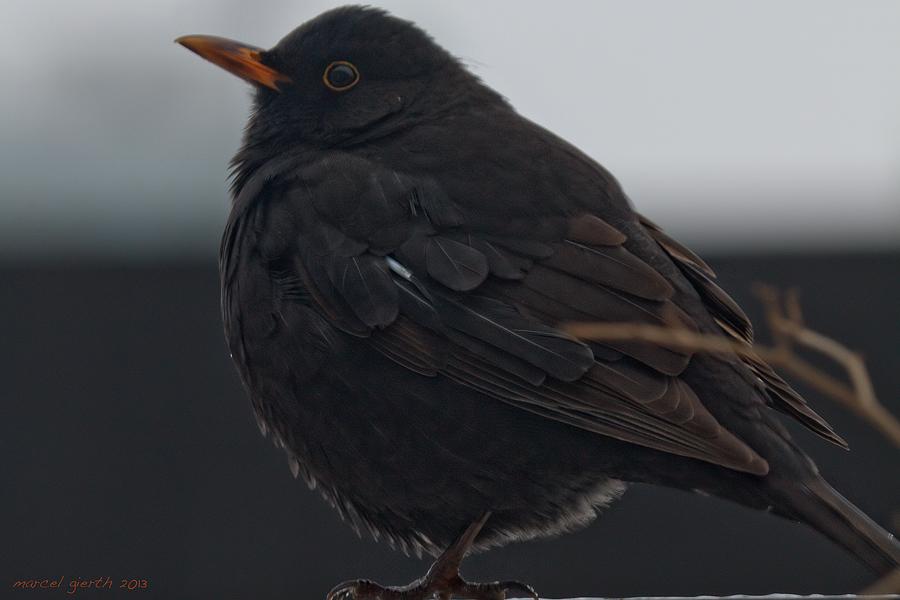 turdus merula amsel blackbird bundeskater und bundeskatze stromern herum. Black Bedroom Furniture Sets. Home Design Ideas
