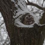 Waldkauz im Englischen Garten