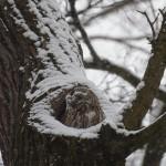 Waldkauz im Schneetreiben