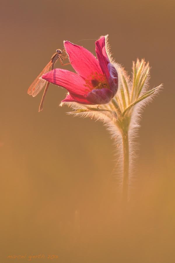Unsere Kleinlibellen – Zygoptera – 2013 – Teil 1