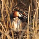 Haubentaucher - Podiceps cristatus