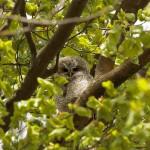 Waldkauz-Ästling im Nordteil es Englischen Gartens