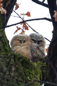 Owlotism – der Wunsch immer bei Eulen zu sein…