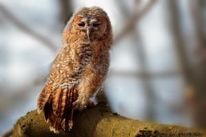 Owldorado