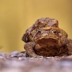 Erdkrötenliebe
