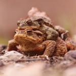 Erdkrötenpaar (Bufo bufo)