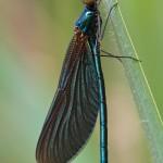 Blauflügelprachtlibelle