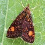 Purpur Zuensler - Pyrausta aurata