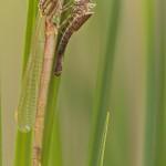 Frühe Adonislibelle – Pyrrhosoma nymphula - und rechts die Exuvie