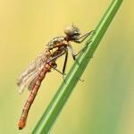 Schlupfunfall - Frühe Adonislibelle – Pyrrhosoma nymphula