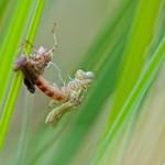 Frühe Adonislibelle – Pyrrhosoma nymphula - bei der Metamorphose