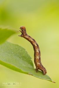 Grosser Frostspanner - Erannis defoliaria