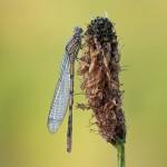 Libelle mit Tautropfen