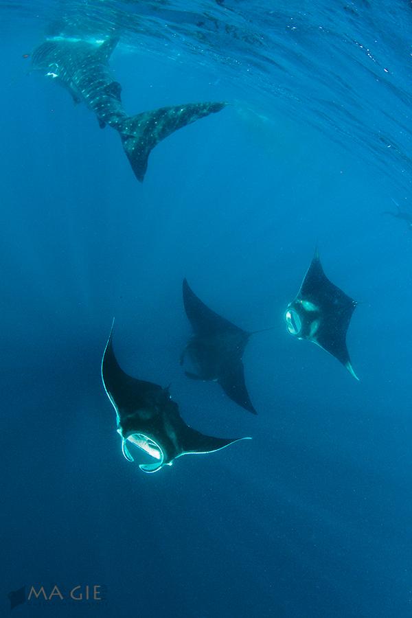 Manta und Walhai