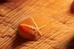 Seestern auf Seegurke