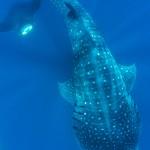 Walhaie, Mantas, Mobulas und ein Orca…