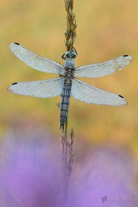 Taufrische Libellen und Schmetterlinge und ein bisschen Fotografenethik