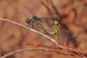 Paarungsrad der Schwarzen Heidelibelle