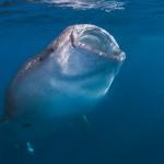 Walhai - Waleshark by Marcel Gierth