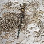 Aeshna juncea - Torf-Mosaikjungfer