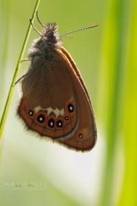 Waldwiesenvögelchen - Coenonympha hero