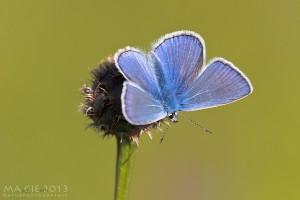 Rückblick auf das Schmetterlingsjahr 2013 – Teil 1: Bläulinge