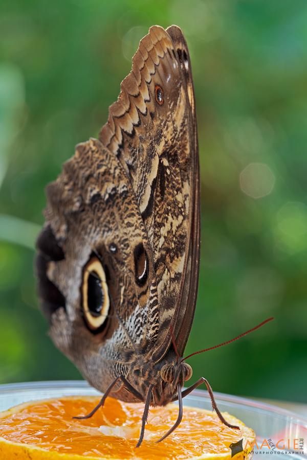 Eröffnung der Schmetterlingsausstellung im BotMuc