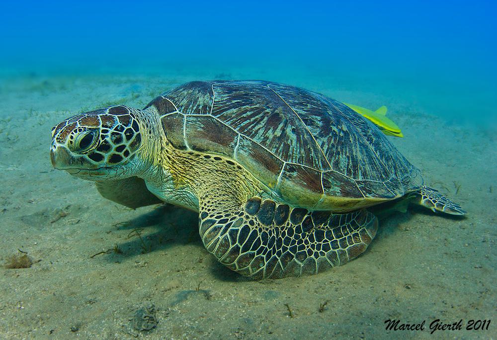 Werden auf Tonga noch gejagt