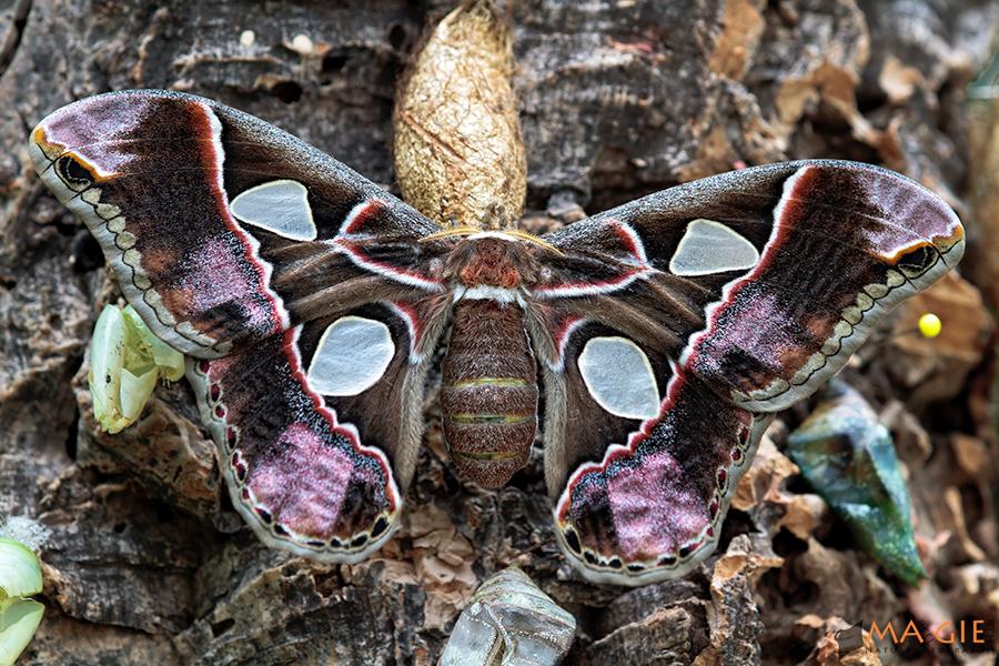 Südamerikanischer Augenspinner (Rothschildia jacobaeae)