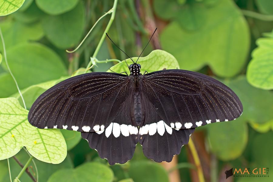 Papilio polytes - Gewöhnlicher Mormone - Männchen