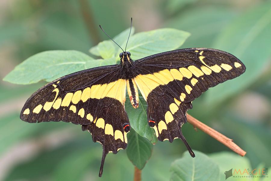 Papilio thoas - Königspage - King Swallowtail