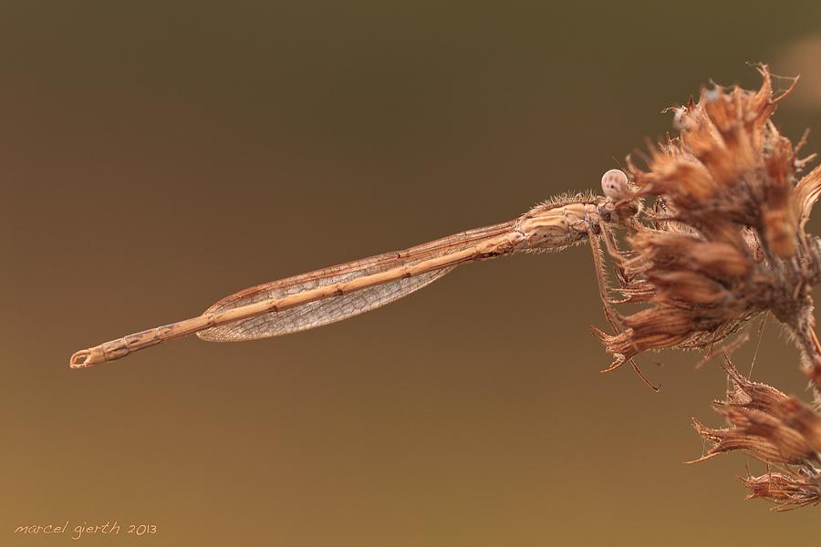 Gemeine Winterlibelle, beide Flügel auf einer Seite