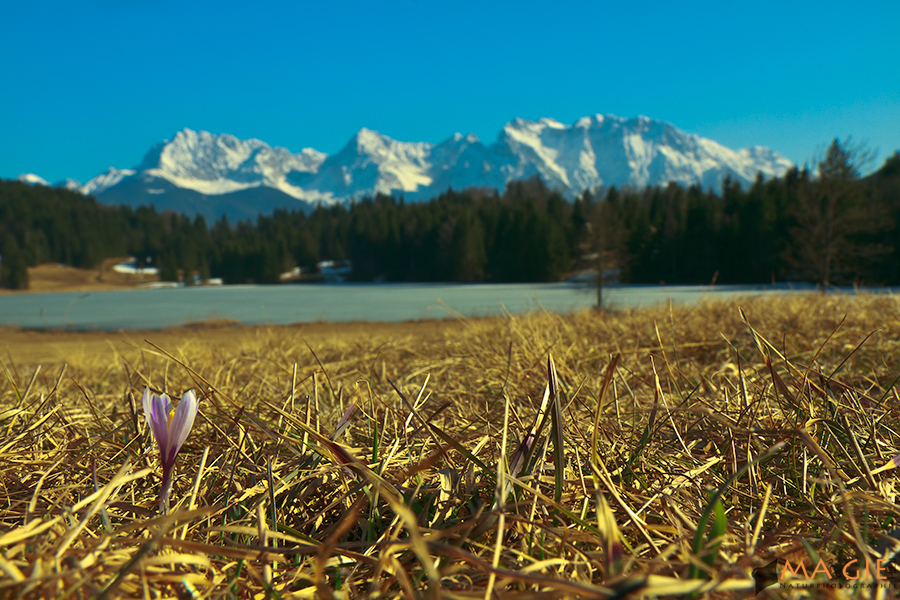 Wilder Krokus am Geroldsee