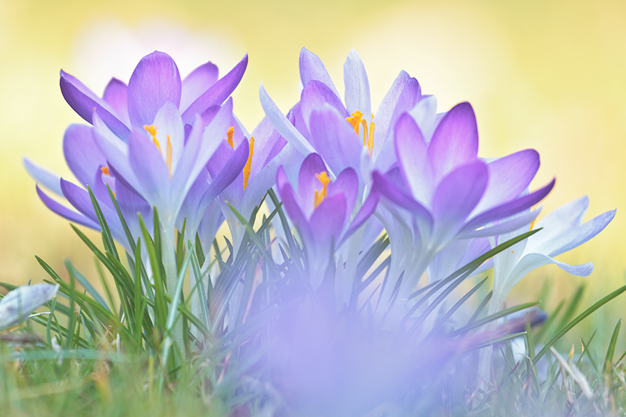 Krokusse, Boten des Frühlings