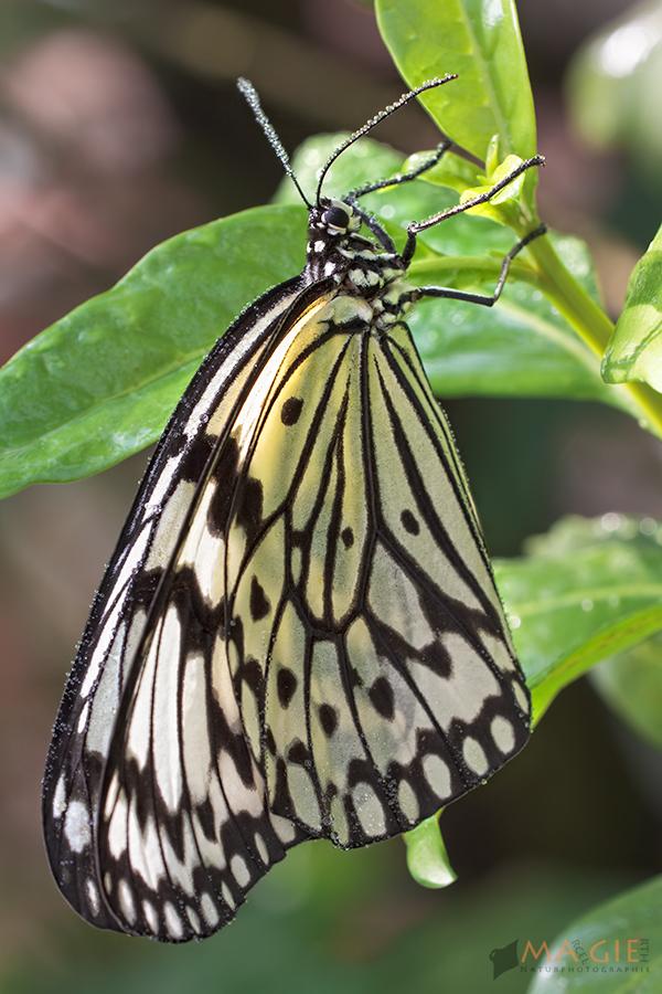 Baumnymphe - dea leuconoe