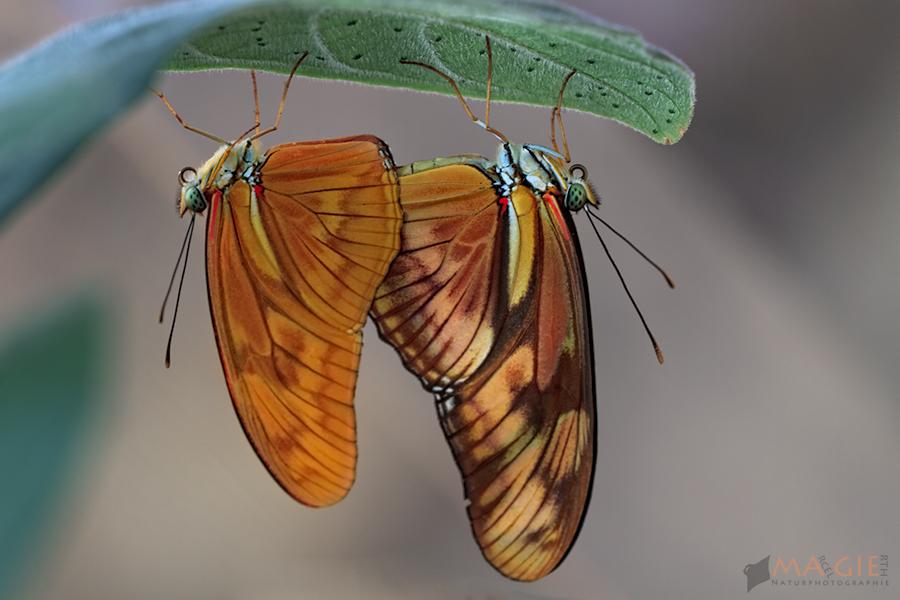 Paarung von Dryas iulia