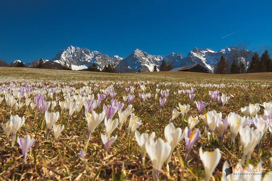 Krokusse im Alpenvorland