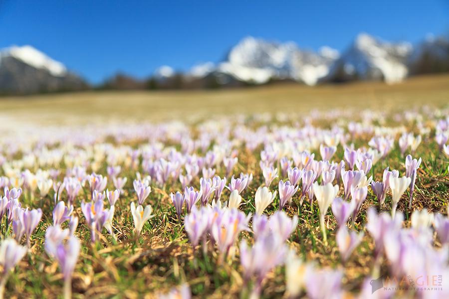 Krokusmeer am Karwendel