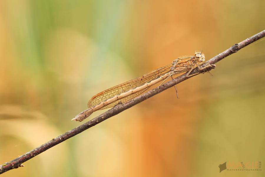 Sibirische Winterlibelle – Sympecma paedisca