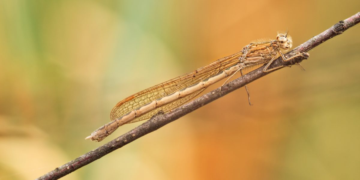 Winterlibellen - Winter damselflies
